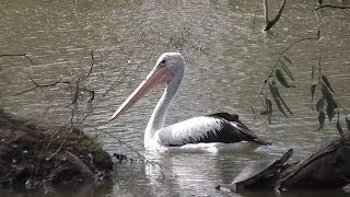 preview picture of video 'Pelican Sailing on Lake Forbes, Forbes, New South Wales, Australia'