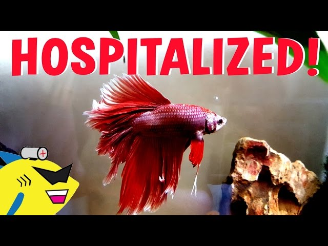 JEFF'S IN THE HOSPITAL! - Betta Fish Fin Rot Cure / Treatment