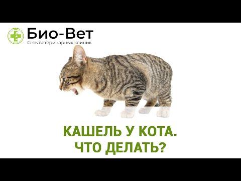 Кашель у кота. Что делать? Ветеринарная клиника Био-Вет.
