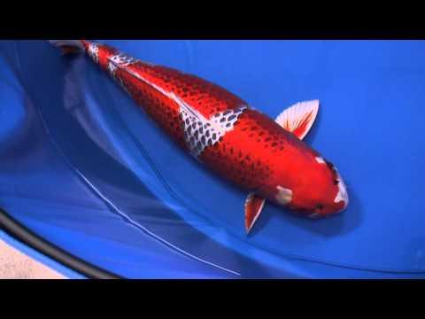 2013年全日本総合錦鯉品評会、桜賞、90部、孔雀