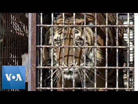 Tigers Rescued From Truck Adapt to New Home
