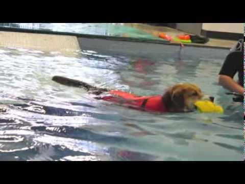 Wonka, an adopted Labrador Retriever & Beagle Mix in Winnipeg, MB