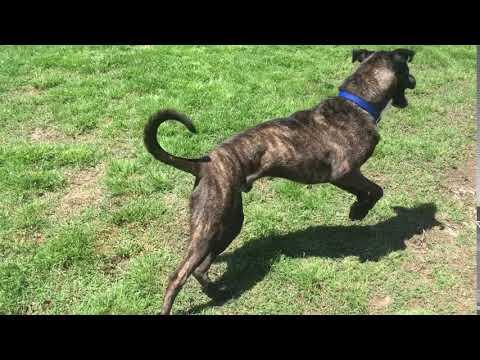 Archie, an adoptable Shepherd & Labrador Retriever Mix in Oklahoma City, OK
