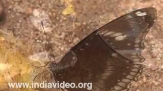 Danaid Eggfly or Hypolimnas Misippuz