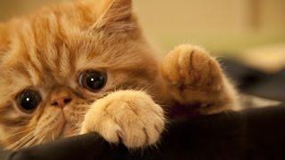 Смешные кошки. Лучшее фото смешные кошки экзоты.