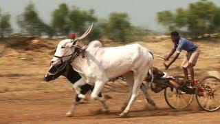 Aralikatti Bulls   Lokapur Suthubandi Race