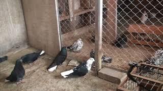 начинающим голубеводам
