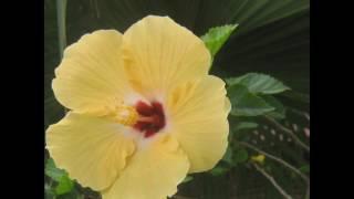 Flower yellow flower hibiscus