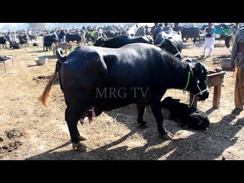 Gujjar Dairy Farm    27kg Milk Record Nili Ravi Buffalo