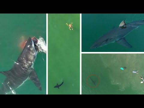 Unbelievable Great White Shark Drone Footage