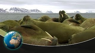 Walruses - Unexpectedly skilled Heavyweights