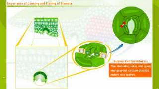 Stomata - Structure and Mechanism