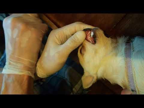 Болезни собак Удаление зубов у чихуа