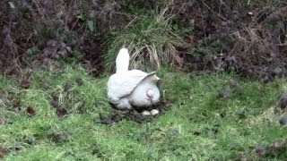 Amazing Clip Of A Goose Laying An Egg. Close-Up.
