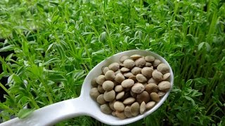 How to Grow Lentil Shoots From Lentil Sprouts