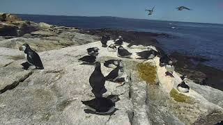 Puffin Loafing Ledge Cam 06-22-2018 10:54:21 - 11:44:57