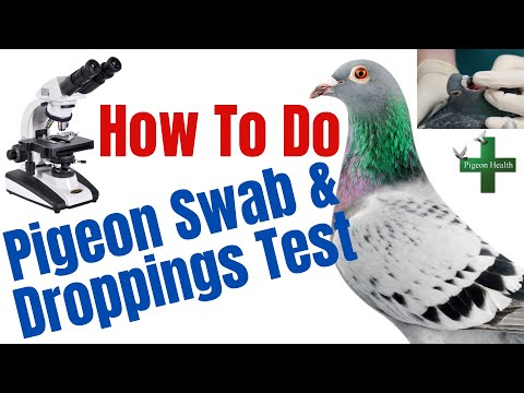 , title : 'How to Do Pigeon Swab and Droppings Test Racing Pigeons - English Tipplers - Fancy Pigeons