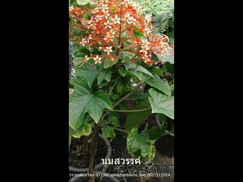 ต้นนมสวรรค์ พนมสวรรค์ วรากรสมุนไพร โทร 0821515014, ID line varakhonherbs