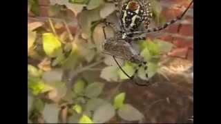 preview picture of video 'The Banded Garden Spider feeding - عنكبوت الحدائق المخطط'