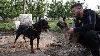 Yeni Çoban Köpeğimi Diğer Köpeklerimle Tanıştırdım ( Rottweiler , Alman Kurdu , Kangal )
