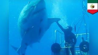 Największy sfotografowany żarłacz biały na świecie