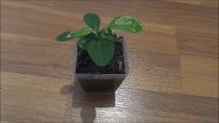 Как выращивать мандарин в домашних условиях из косточки. эксперименты с растениями своими руками