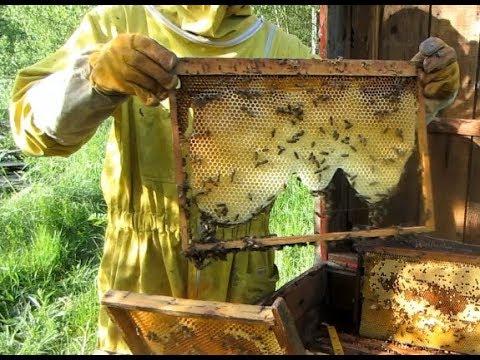 Пчеловодство.Как ослабить роение пчелосемей. Противороевые методы .Способы ослабления роения у пчёл.