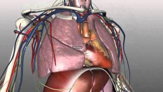 Mediastinum - Anatomy Tutorial