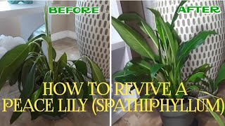 HOW TO REVIVE A PEACE LILY (SPATHIPHYLLUM)