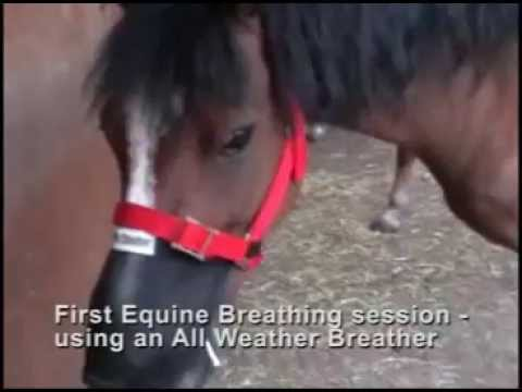 The effect of one month of Equine Breathing using an All Weather Breather on a pony with COPD (asthma and heaves).