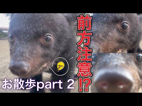 【前方注意】ツキノワグマの赤ちゃん、お散歩part2