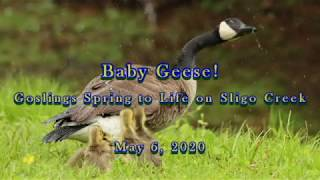 Baby Geese! Goslings Spring to Life on Sligo Creek