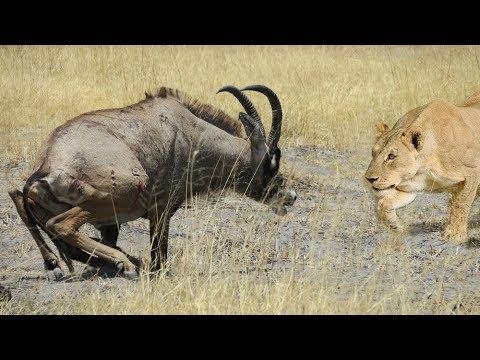 lions-hunts-a-roan-antelope