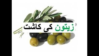 Olive production Zaiton ki kasht زیتون کی کاشت