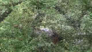 林業試驗所黑冠麻鷺育幼全紀錄(影片版)