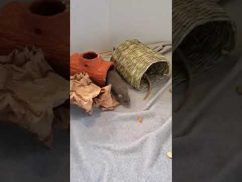 Flounder, an adoptable Rat in Saint Paul, MN