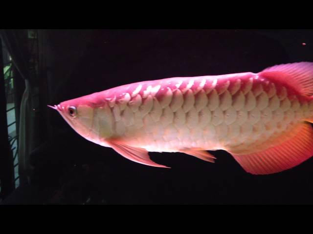 Arowana Eats a Slug & House Lizard