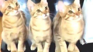 Смешные кошки приколы про кошек и котов 2017 - FUNNY BOB TV