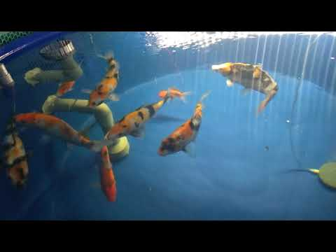 Hồ cá Koi ngày 20-01-2021 | btkoi.com