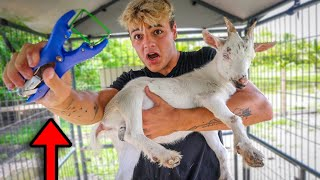 My PET GOATS DID NOT LIKE THIS AT ALL!!