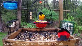 Scarlet Tanager and Baltimore Oriole