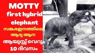 സങ്കരമായി ജനിക്കപ്പെട്ട ആദ്യ ആന motty first hybrid elephant true story ആനകളിലെ അത്ഭുദ ജന്മം 😪