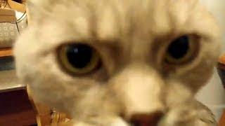 Кот говорит по русски Я ТЕБЯ ЛЮБЛЮ / Кот разговаривает