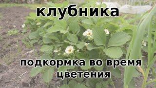 клубника во время цветения . ПОДКОРМКА и уход