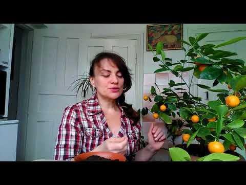 Комнатный мандарин (каламондин): уход и черенкование
