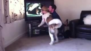 Смотреть онлайн Собака акита против медведя в телевизоре