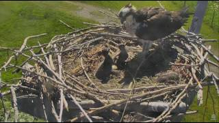 6/23/17 Youngest chick wakes up and picks a fight - Charlo Osprey Cam