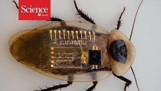 Synthetic nerve can sense Braille, move cockroach leg