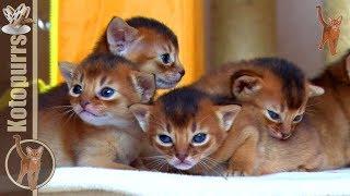 Маленькие абиссинские котята и их кошки-мамы [kotopurrs]