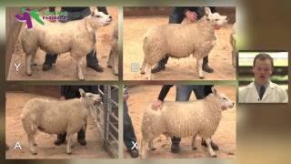 Stockjudging Sheep Reasons